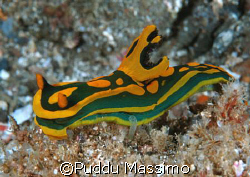 nudibranc,siladen indonesia,nikon d2x,60mm lens by Puddu Massimo 